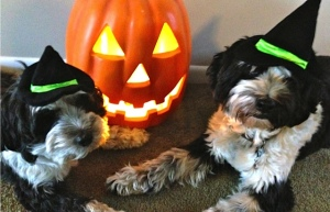 Two Tibetan Terrier dogs with Halloween hats on in front of lit pumpkin